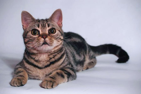 american-wirehair-2