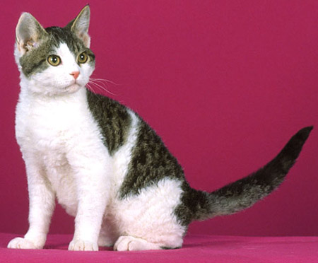 american-wirehair-4