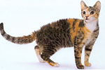 american-wirehair-m