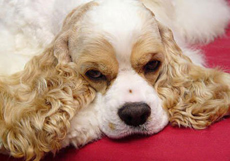 american_cocer_spaniel02