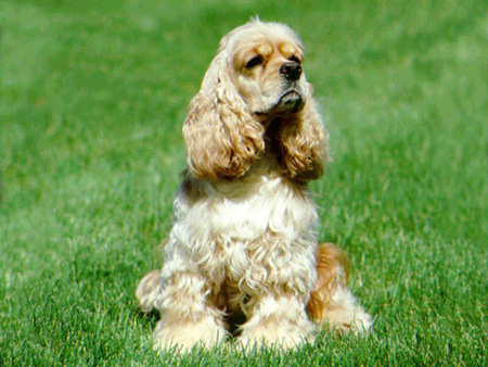 american_cocer_spaniel03