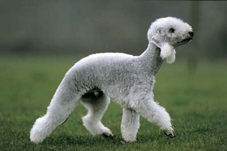 bedlington_terrier01