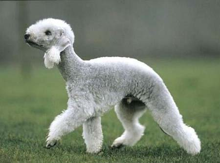 bedlington_terrier02