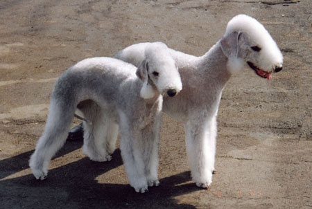 bedlington_terrier03