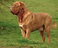 bordeaux_bulldog