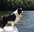 border_collie