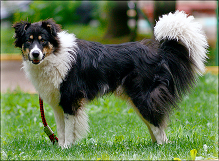 border_collie02