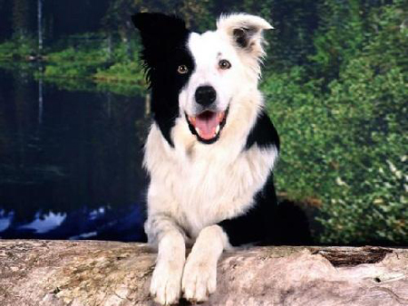 border_collie03
