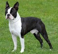 boston_terrier