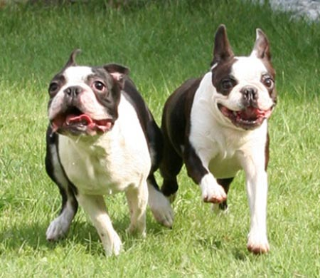 boston_terrier03