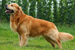 golden_retriver