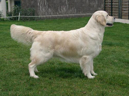 golden_retriver01