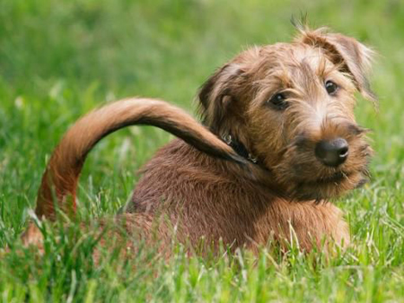 irish-terrier03