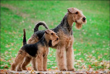 welsh_terrier01