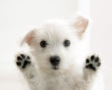 west-highland-white-terrier01