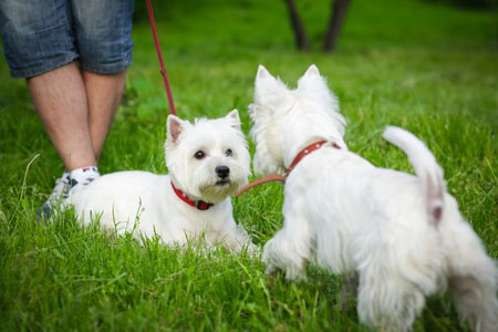 west-highland-white-terrier02