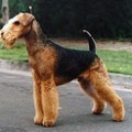 airedale_terrier