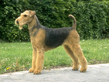 airedale_terrier01