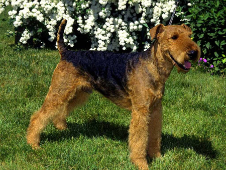 airedale_terrier02