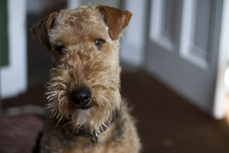 airedale_terrier03