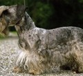 cheshskyi_terrier
