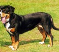 entlebucher_zinnerhound