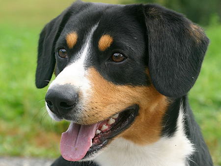 entlebucher_zinnerhound01