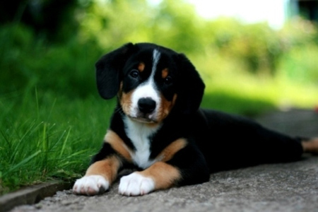 entlebucher_zinnerhound03