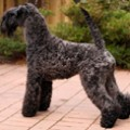 kerry_blue_terrier