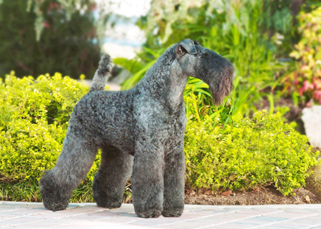 kerry_blue_terrier01
