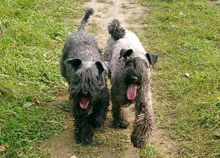 kerry_blue_terrier02