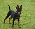 toy_terrier