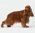 english-cocker-spaniel_l
