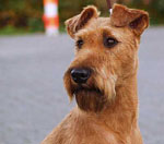 irish_terrier-m